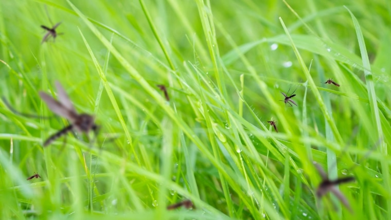 Mosquitos In Grass